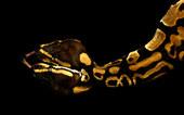 004-schlangenfotos-giftschlangenfotos-reptilienfotos-andyhunger.jpg