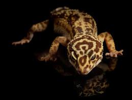 040-echsen-chameleons-geckos-krokodile-andy-hunger.jpg