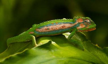 001-echsen-chameleons-geckos-krokodile-andy-hunger.jpg