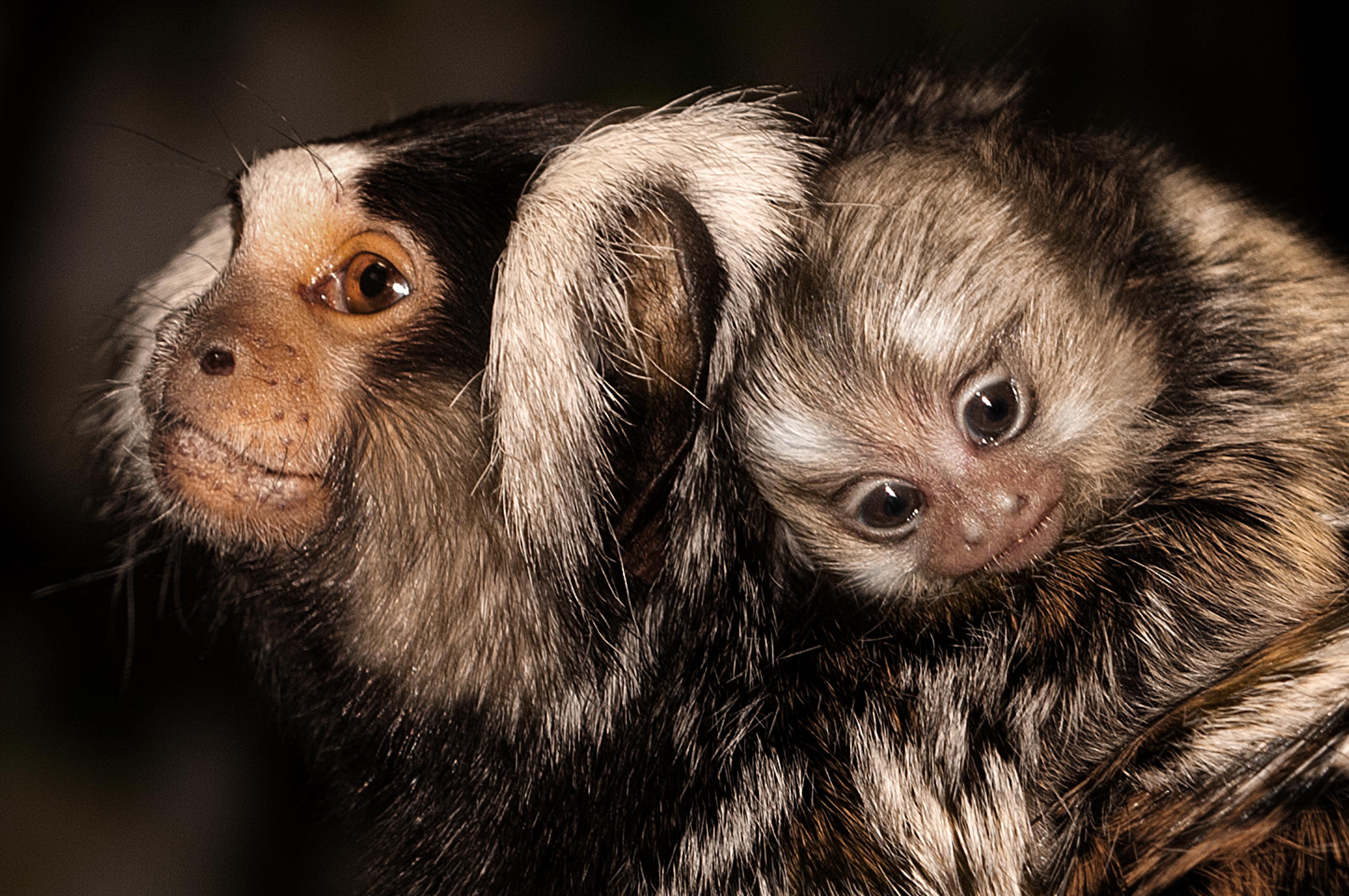 047-säugetiere-affen-raubkatzen-gorillas-tierfotos-andyhunger