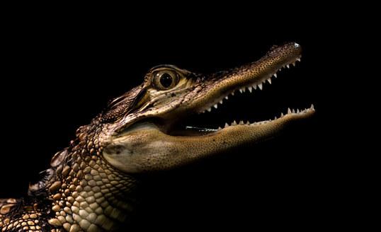 008-echsen-chameleons-geckos-krokodile-andy-hunger.jpg