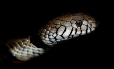 003-schlangenfotos-giftschlangenfotos-reptilienfotos-andyhunger.jpg