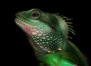 019-echsen-chameleons-geckos-krokodile-andy-hunger.jpg