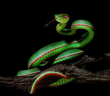 046-schlangenfotos-giftschlangenfotos-reptilienfotos-andyhunger.jpg