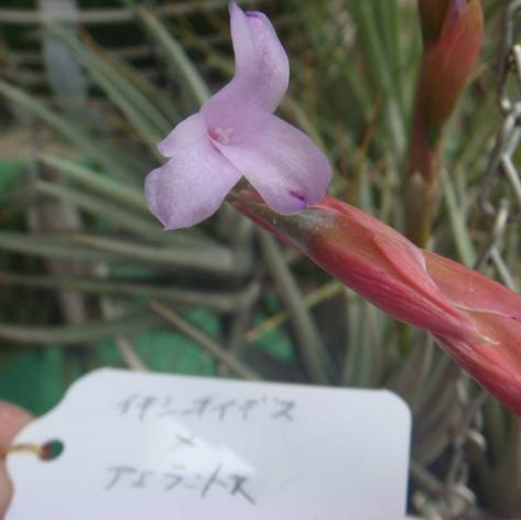 T.ixioides × T.aeranthos