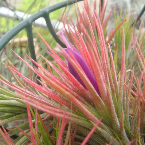 T.funckiana × T.ionantha