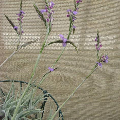 T.paleacea ssp.apurimacensis