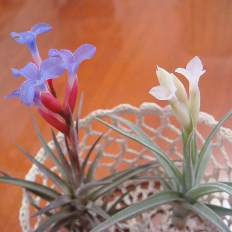 """T.jonesii & T.aeranthos """"Alba"""""""