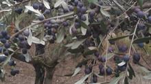 O săptămână printre măslini