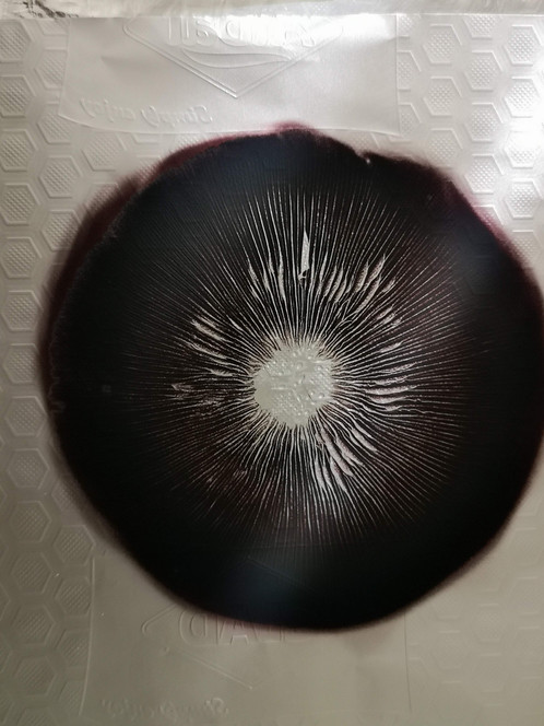 Spore Print Psilocybe cubensis Escondido