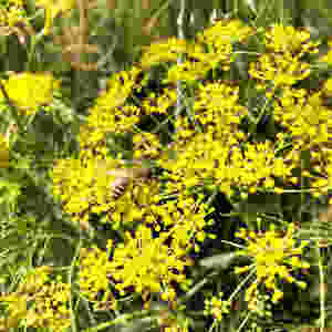 Yellow Jacket bee sitting on bright yellow fennel flowers