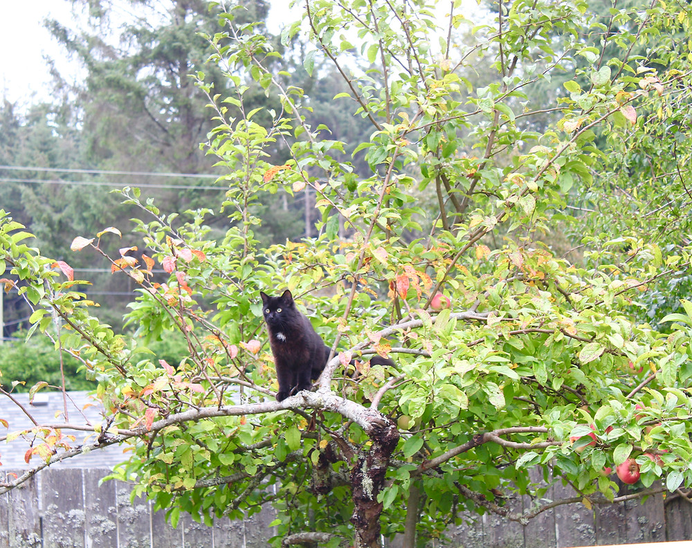 Black cat sitting high in a heritage apple tree