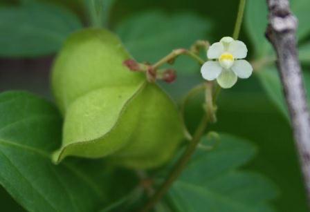 Cardiospermum halicacabum (Uzhinja)