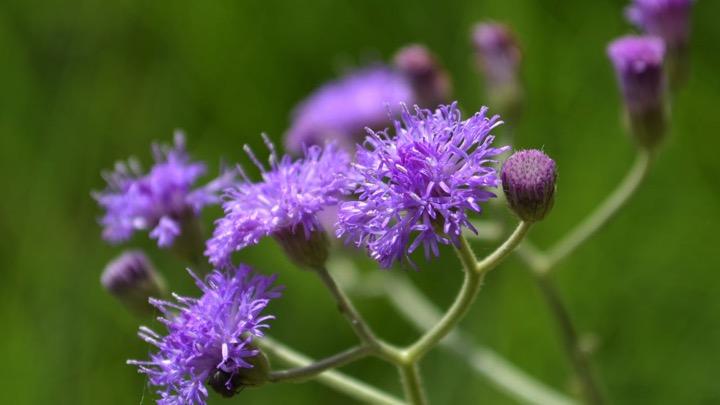 Vernonia cinerea (Poovamkurunthal)