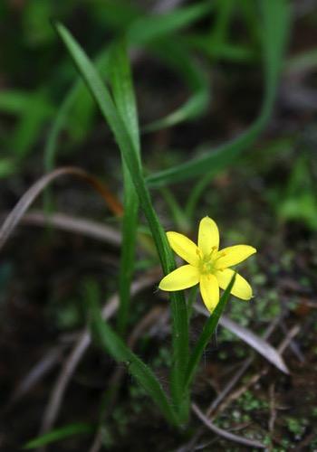 Curculio orchioides (Nilappana)