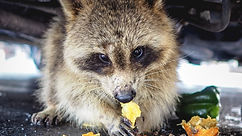 Wallpaper%209_16%20racoon%20under%20truc