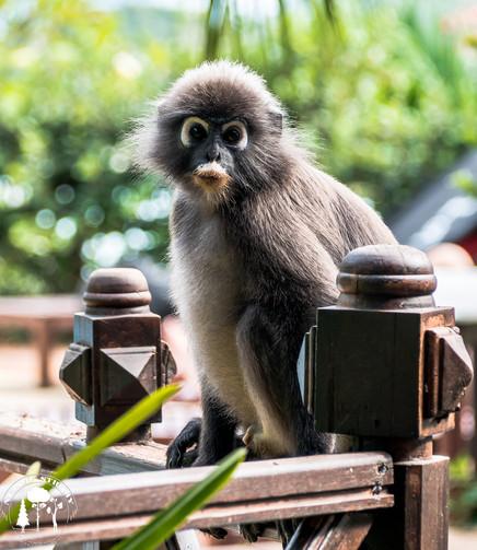 Tyhle rostomilé opičky (Hulmani) nám dělaly často společnost u bazénu a na rozdíl od Makaků, kterých je na Langkawi o hodně víc jsou tyhle plaché a prostě roztomilé.