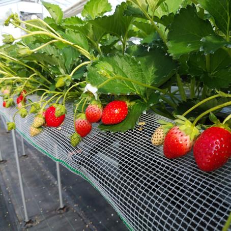 苺の販売についてのお知らせ