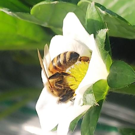 蜂さん頑張ってます