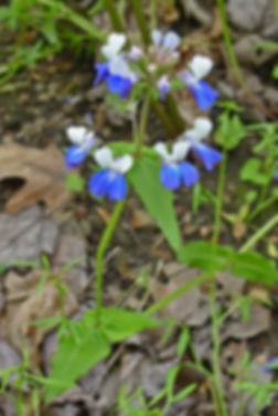 BlueEyedMary4E.jpg