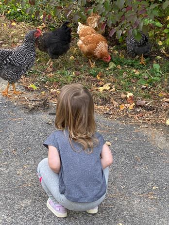 Chickens roaming park