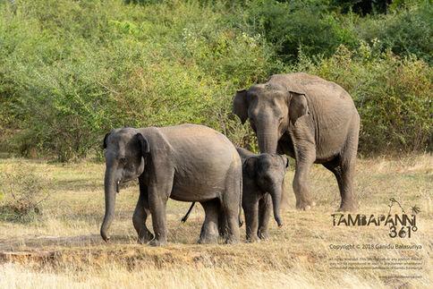 Asian elephant at Yala