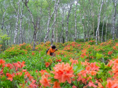 白樺平レンゲツツジ群生地のレンゲツツジは週末までが見頃です! ✿