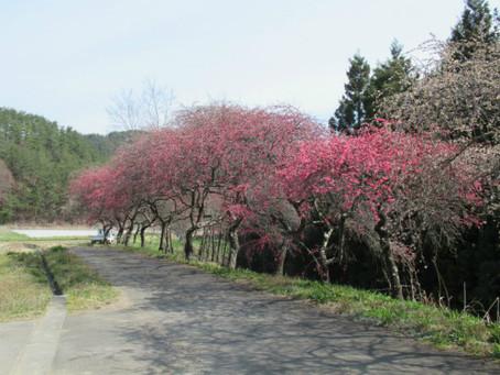 武石地域の花だより(令和3年4月12日現在)