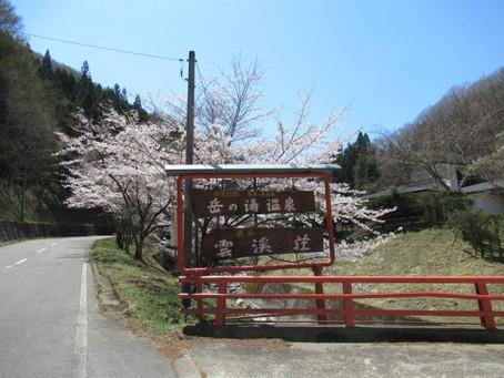 岳の湯温泉雲渓荘の桜が見頃を迎えています✿