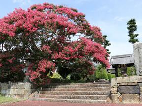 信廣寺のサルスベリ