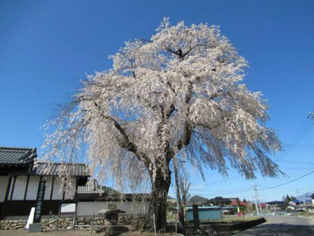 武石地域の花だより(令和3年4月7日現在)