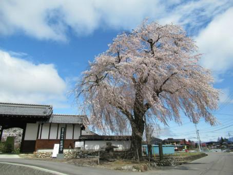 信廣寺のシダレザクラ、子檀嶺神社のソメイヨシノ、武石公園のヒカゲツツジが満開になりました✿