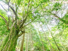 トガの親木