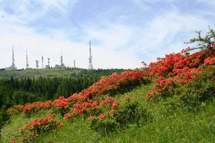 焼山周辺のレンゲツツジ群生地