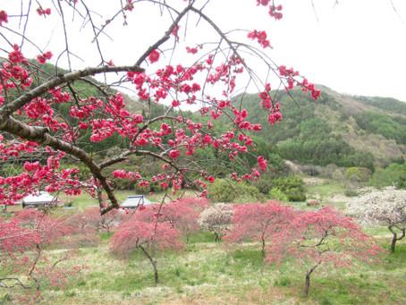 「信州武石余里一里花桃の里」売店付近の花桃は、まだまだ見頃です✿