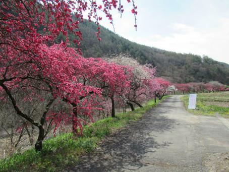 「信州武石余里一里花桃の里」入口付近の花桃が見頃を迎えます✿
