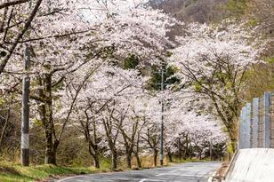 小沢根川沿いの桜並木