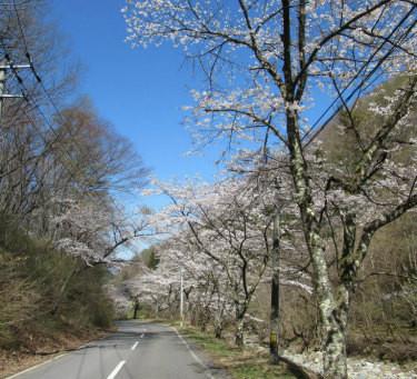 「余里一里花桃の里」入口付近の花桃が見頃を迎えています✿