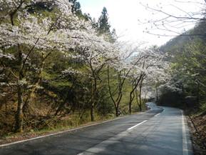 小沢根川の桜並木