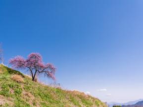 余里地区の花桃