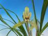 有賀朶朶香黄色花大輪
