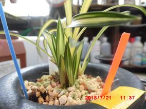 韓国春蘭柄物の成育ーその1
