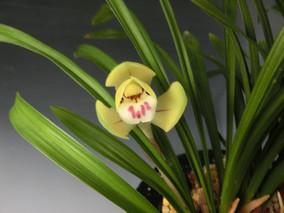 春蘭:「大富貴×茶花」「鷹の爪小花」
