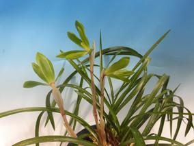鹿児島産六弁花:翠天