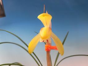 平尾台黄花