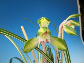 日本春蘭:「幽玄」「垂葉黄豆花」