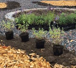 Plantering nepeta_2015