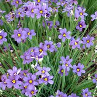 Sisyrinchium, Lucerne Blue Eyed Grass