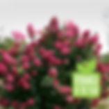 Firelight Hydrangea.jpg