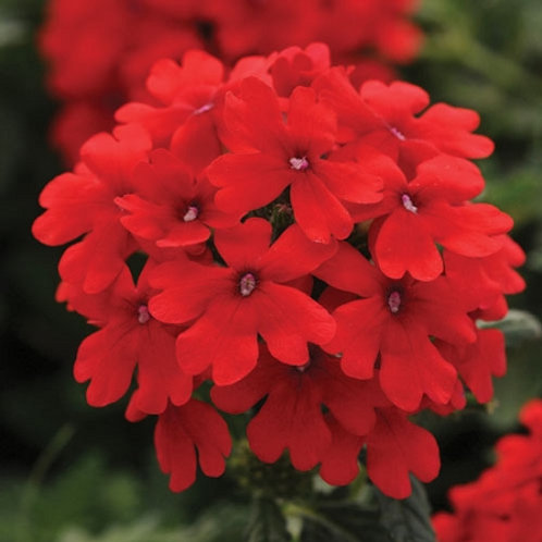 Verbena, Firehouse Red